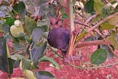 Putrefazione cedrata della frutta nel campo fotografia stock