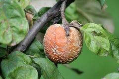 Putrefazione della frutta di Brown della mela causata dal fungo di Monilia fotografia stock