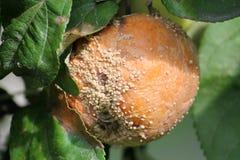 Putrefazione della frutta di Brown della mela causata dal fungo di Monilia fotografie stock