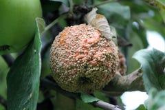 Putrefazione della frutta di Brown della mela causata dal fungo di Monilia immagine stock
