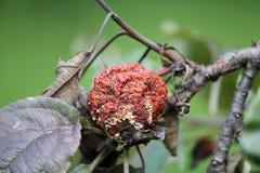 Putrefazione della frutta di Brown della mela causata dal fungo di Monilia fotografia stock libera da diritti