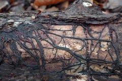 Putrefazione di radice del fungo di Armillaria immagini stock