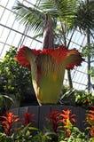 Putrella likblomman i blom Arkivbild
