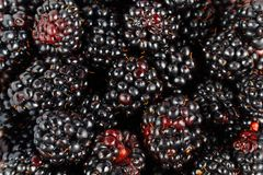 Putrescent mulberries Royalty Free Stock Image