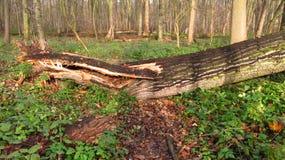 Putrescent old tree Royalty Free Stock Photo