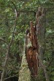 Putrid tree breakage Stock Images