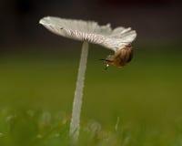 Putris Succinea σαλιγκαριών στα plicatilis ενός μανιταριών Parasola Στοκ φωτογραφία με δικαίωμα ελεύθερης χρήσης