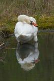 Putsa den stumma svanen Arkivfoton