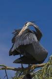 putsa för heron Royaltyfri Foto