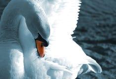 putsa swan Arkivfoton