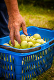 Putting apples into the basket Royalty Free Stock Images