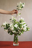 Putting a blooming twig into vase Stock Photography