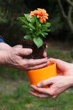 Putting dahlia into flowerpot Royalty Free Stock Photos