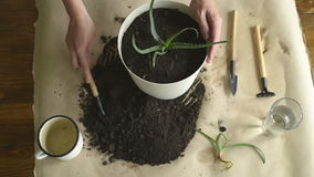 Putting dirt into pot with aloe vera stock video