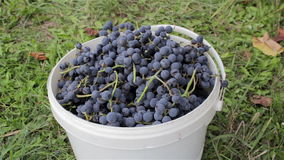 Putting grapes in a bucket. Putting his hands in a bucket of ripe blue grapes stock video footage