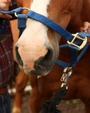 Putting halter on the horse. A halter going on to the horse's nose Royalty Free Stock Photography