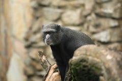 Putty-μυρισμένος πίθηκος στοκ εικόνα