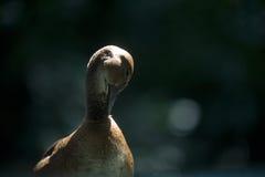 Putzende Ente lizenzfreie stockbilder