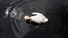 Putzende Federn des weißen Pelikans im dunklen Wasser von einem Teich stockbild