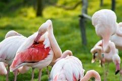 Putzende rosafarbene Flamingos Lizenzfreies Stockfoto