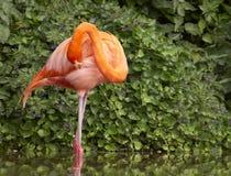 Putzender Flamingo Lizenzfreie Stockbilder