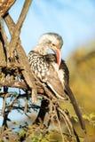 Putzender Hornbill herein mit Baumhintergrund Lizenzfreies Stockfoto