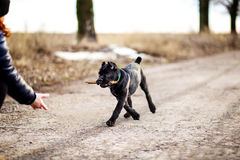 Puupy play with stick Royalty Free Stock Image