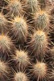 Puxões do cacto do Arizona foto de stock