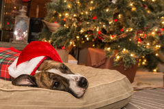 Puxando a árvore de Natal Fotografia de Stock Royalty Free
