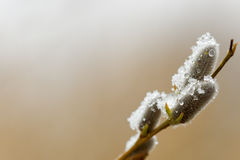 puyssy雪thawn杨柳 免版税库存图片