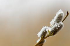 Puyssy-wilg met thawnsneeuw Royalty-vrije Stock Afbeeldingen