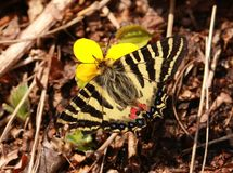 Puziloi de Luehdorfia Mariposa Imágenes de archivo libres de regalías