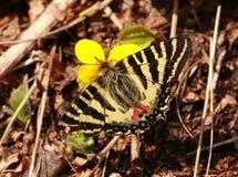 Puziloi Luehdorfia Бабочка Стоковые Изображения RF