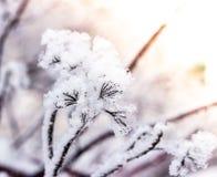 Puzyreplodnik kalinolistny, opulifolius Physocarpus Стоковое Изображение RF