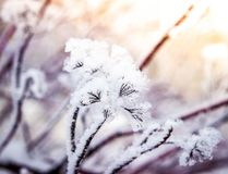 Puzyreplodnik kalinolistny, opulifolius Physocarpus Стоковая Фотография