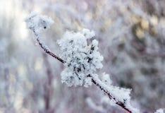 Puzyreplodnik kalinolistny, opulifolius Physocarpus стоковое изображение
