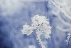 Puzyreplodnik kalinolistny, opulifolius Physocarpus стоковая фотография rf
