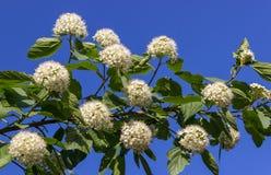 Puzyreplodnik kalinolistny, Physocarpus Royalty Free Stock Photo