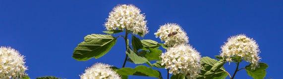 Puzyreplodnik kalinolistny, Physocarpus Royalty Free Stock Image