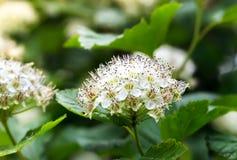 Puzyreplodnik kalinolistny, Physocarpus opulifolius Royalty Free Stock Image