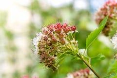 Puzyreplodnik kalinolistny, Physocarpus opulifolius Stock Image