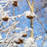 Puzyreplodnik kalinolistny, Physocarpus opulifolius Stock Photo