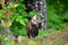 Puzzled baby red fox kit Royalty Free Stock Images