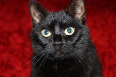 Puzzled black cat on a red background. Closeup of a puzzled serious cat looking at the camera over a scarlet background stock images