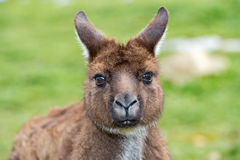 Puzzled kangaroo portrait close up portrait Stock Photo