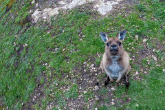 Puzzled kangaroo portrait close up portrait Royalty Free Stock Photography