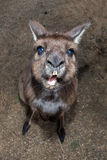 Puzzled kangaroo portrait close up portrait Royalty Free Stock Images