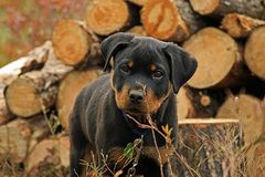 Puzzled Rottweiler Puppy. Kobe, our 3 month old puppy's first camping trip at Canyon Lake, Northern Ontario Stock Image