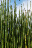 Puzzlegrass. (equisetum) known as horsetail or snake grass Royalty Free Stock Photography