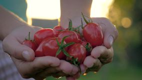 Puñado de Hands Holding A del granjero de puesta del sol madura de Cherry Tomatoes Against The Golden almacen de video
